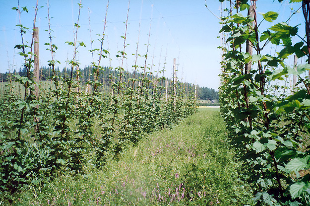 Plants with summer cover crop
