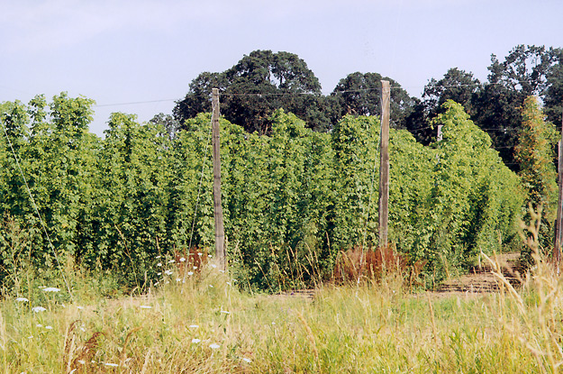 Mature plants in August