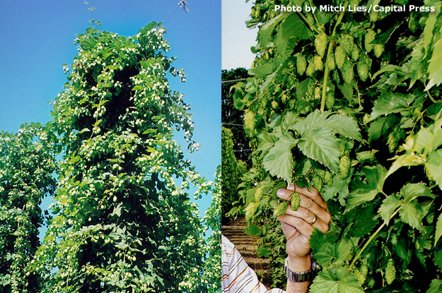 Developing cones - August